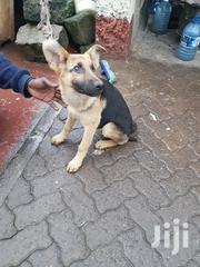 Young Female Purebred German Shepherd Dog | Dogs & Puppies for sale in Nairobi, Nairobi South