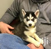 Baby Male Purebred Siberian Husky | Dogs & Puppies for sale in Baringo, Barwessa