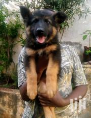 Young Female Purebred German Shepherd Dog   Dogs & Puppies for sale in Nairobi, Kahawa West