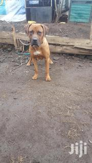 Adult Male Purebred Boerboel | Dogs & Puppies for sale in Nakuru, Nakuru East