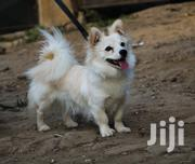 Young Female Purebred Papillon | Dogs & Puppies for sale in Kajiado, Ongata Rongai