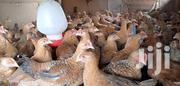 One Month Old Kuroilers And Kari Chicks | Livestock & Poultry for sale in Murang'a, Kimorori/Wempa