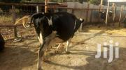 7 Months Pregnant Heifer | Livestock & Poultry for sale in Nakuru, Nakuru East