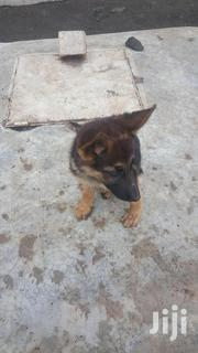 Young Female Purebred German Shepherd Dog | Dogs & Puppies for sale in Nakuru, Nakuru East