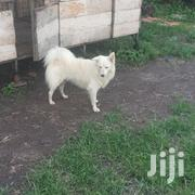 Young Male Purebred Japanese Spitz | Dogs & Puppies for sale in Nairobi, Kahawa