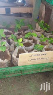 Plants Siblings For Sale | Feeds, Supplements & Seeds for sale in Mombasa, Mji Wa Kale/Makadara