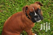 Baby Male Purebred Boxer | Dogs & Puppies for sale in Kajiado, Ongata Rongai