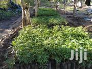 Tree Seedlings For Melia Volkensii MUKAU | Garden for sale in Kitui, Township