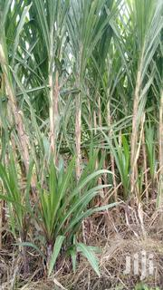 Napier Grass (Panar) | Feeds, Supplements & Seeds for sale in Nandi, Ol'Lessos