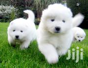 Baby Female Purebred Samoyed | Dogs & Puppies for sale in Nairobi, Nairobi Central
