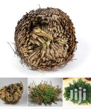 """Rose Of Jericho"""" - The Resurrection Plant 