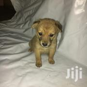 Baby Female Mixed Breed | Dogs & Puppies for sale in Nairobi, Imara Daima
