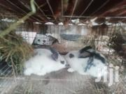 4 Months Flemish Giant California, New Zealand, Checkered Giant | Livestock & Poultry for sale in Nairobi, Imara Daima
