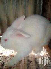 Mature Breeding Rabbits Male or Female Checkered Giant, California | Other Animals for sale in Nairobi, Imara Daima