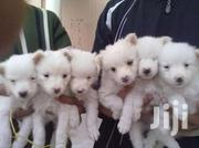 7 Weeks Old Splitz Pups | Dogs & Puppies for sale in Nairobi, Embakasi