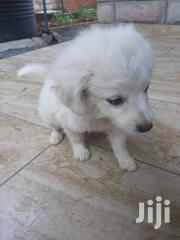 Baby Male Purebred Japanese Spitz | Dogs & Puppies for sale in Machakos, Syokimau/Mulolongo