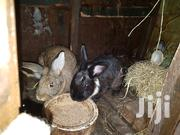 Flemish Gaint Rabbits | Other Animals for sale in Kiambu, Karuri