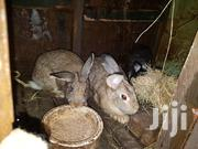 10months Old Flemis Giant Rabbits | Other Animals for sale in Kiambu, Karuri