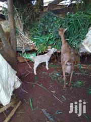 Dairy Goats | Livestock & Poultry for sale in Kirinyaga, Baragwi
