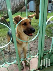 Young Male Mixed Breed German Shepherd Dog | Dogs & Puppies for sale in Kisumu, Central Kisumu