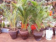 Golden Palm And A Pot At Great Discount | Garden for sale in Nairobi, Ngando