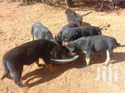Rottweiler Puppies | Dogs & Puppies for sale in Nairobi, Kasarani