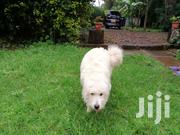 Young Male Purebred West Highland White Terrier | Dogs & Puppies for sale in Nairobi, Karen