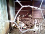 Domesticated Egyptian Geese For Sale | Other Animals for sale in Nairobi, Kahawa West