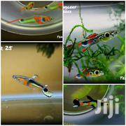 Beautiful Active Endler Guppy | Fish for sale in Nairobi, Kawangware