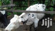 Pure Holstein Dairy Cow | Livestock & Poultry for sale in Meru, Nkuene