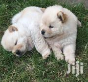 Baby Female Purebred Chow Chow | Dogs & Puppies for sale in Nairobi, Dandora Area I