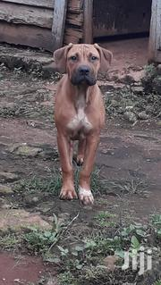 Baby Female Purebred Boerboel | Dogs & Puppies for sale in Nairobi, Karen