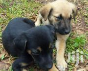 Baby Female Mixed Breed Labrador Retriever | Dogs & Puppies for sale in Kericho, Kapsuser