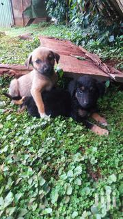 Baby Male Mixed Breed Labrador Retriever | Dogs & Puppies for sale in Kericho, Kapsuser
