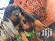 Baby Female Purebred Rottweiler | Dogs & Puppies for sale in Nairobi, Kilimani
