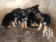 Baby Male Purebred German Shepherd Dog | Dogs & Puppies for sale in Murang'a, Makuyu