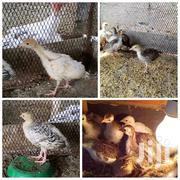 Quail And Broilers | Livestock & Poultry for sale in Mombasa, Changamwe