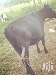 Dairy Cow. Aryshire | Livestock & Poultry for sale in Uasin Gishu, Sergoit