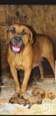 Baby Male Purebred Boerboel | Dogs & Puppies for sale in Nairobi, Kilimani