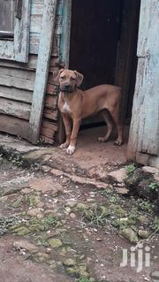 Young Female Purebred Boerboel | Dogs & Puppies for sale in Nairobi, Karen