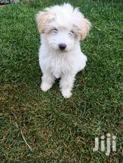 Baby Male Purebred Maltese | Dogs & Puppies for sale in Kericho, Ainamoi