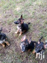 Young Female Purebred German Shepherd Dog | Dogs & Puppies for sale in Nairobi, Kahawa