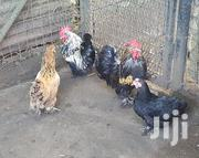 Pekin Bantams For Sale | Livestock & Poultry for sale in Mombasa, Bamburi