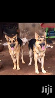 Adult Male Purebred German Shepherd Dog | Dogs & Puppies for sale in Nandi, Ol'Lessos