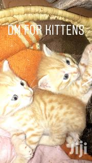 Baby Male Mixed Breed | Cats & Kittens for sale in Nairobi, Imara Daima