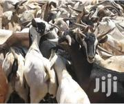 Goats Sheep On Sale | Livestock & Poultry for sale in Kirinyaga, Tebere