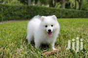 Baby Female Purebred Japanese Spitz | Dogs & Puppies for sale in Mombasa, Bamburi