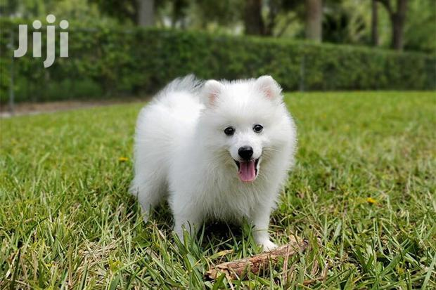 Archive: Baby Female Purebred Japanese Spitz