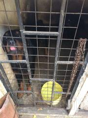 Rottweiller   Dogs & Puppies for sale in Mombasa, Bamburi