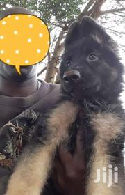 German Shepherd Puppies For Sale | Dogs & Puppies for sale in Machakos, Machakos Central